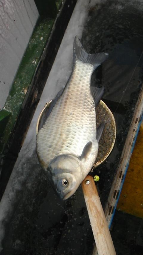 2月12日しのつ湖でワカサギ釣り。またヘラブナ釣れましたの巻き。